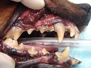 重度の歯石が付着した犬